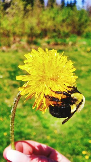 Bumblebee Save The Bees Dandelion Summertime Yellow