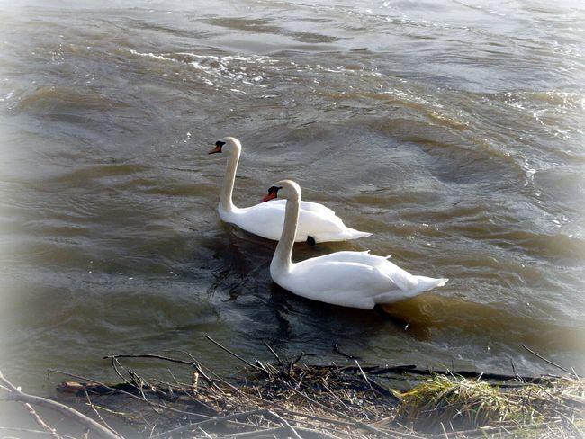 Swans River Danube Ulm