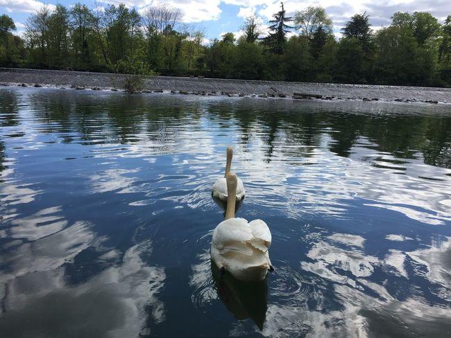Cygne Au Bord De L'eau En Balade Sur Le Chemin Nature Cygnes Oiseaux Birds