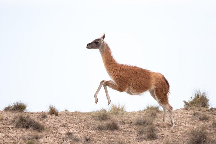 Animal walking on field against clear sky
