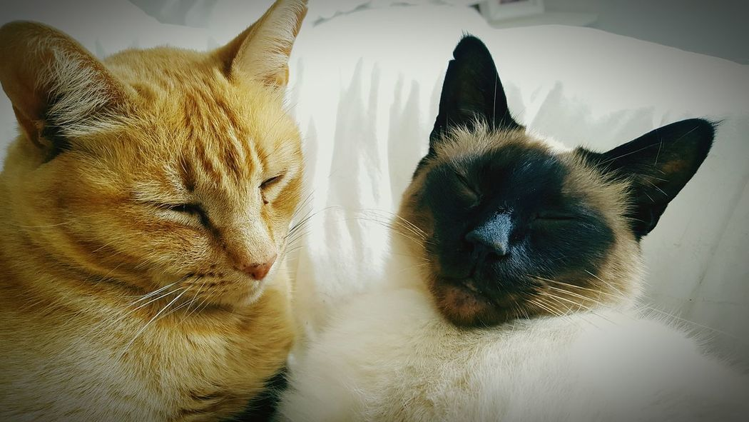 Cat Lovers Sleeping Cat Sleeping Buddies Tom Cat Siamese Cat Bliss Contented_togetherness Brotherly Love Hanging Out Relaxing