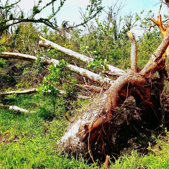 Grass Nature Growth Outdoors Day No People Green Color Tree Agriculture Beauty In Nature Irma Aftermath Ramrod Key Florida Hurricane Irma 2017 Tree Roots Of Tree