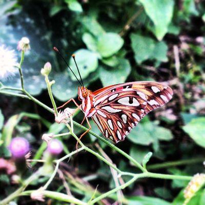 Una más para mi colección Mariposa butterfly Smartshoot HTCOneX Butterfly