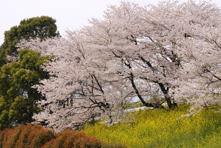 Low angle view of cherry trees by mustard plants on field
