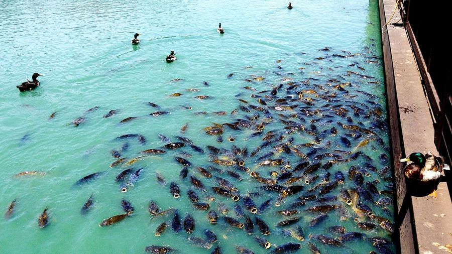 High angle view of ducks and fishes swimming in sea