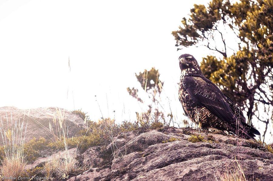 Águila en el páramo Eagle Nature Wildlife Colombia First Eyeem Photo