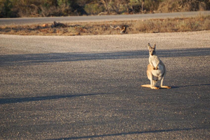 The hitchiker Road Safety Golden Hour Kangaroo On Road Wallaby Ningaloo Reef Shark Bay Cape Range National Park West Australia WA Full Length Kangaroo