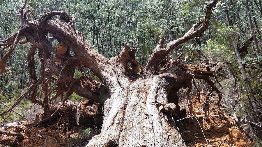 Tree Trunk Tree Tree Roots  Australian Bush Hiking Hikingadventures Peaceful Twisted