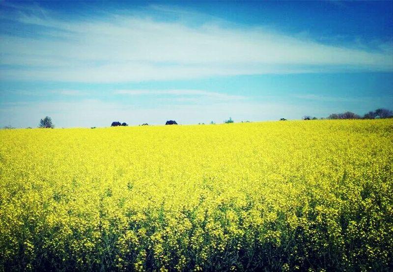 Taking Photos Canola Crops  Eye Em Nature Lover