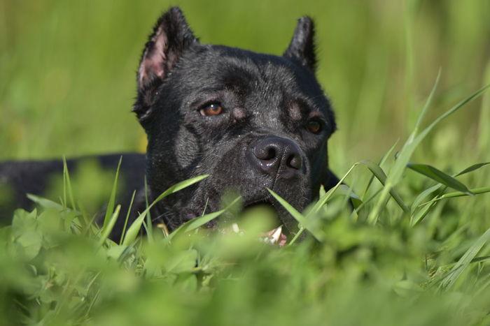 Nera. Relaxing Dog Dogs DogLove Doglover Pets Pet Pet Photography  Pet Love Cane Corso Canecorso  Canecorsoitaliano Canecorsolovers