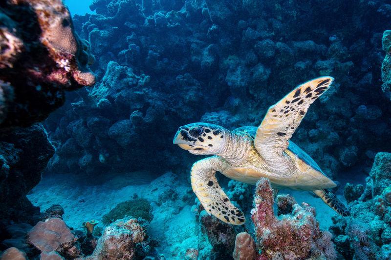 Portait of a sea turtle swimming in the red sea
