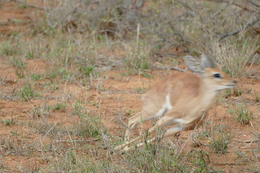 South Africa Safari Savannah GameDrive Game Drive Klaserie Kruger Park Nature Animal Animals EyeEm Best Shots Steinbock Nature Diversities Nature's Diversities