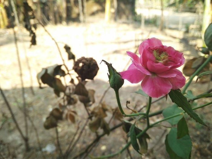 Rose flower Flowers, Nature And Beauty Flowerphotography EyeEm Selects EyeEm Best Shots Flower Collection Mawar Bunga Rosé Rose - Flower Rose🌹 Roses Flower Head Flower Pink Color Springtime Petal Close-up Plant
