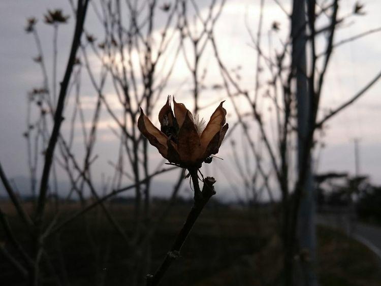枯れ葉 綿