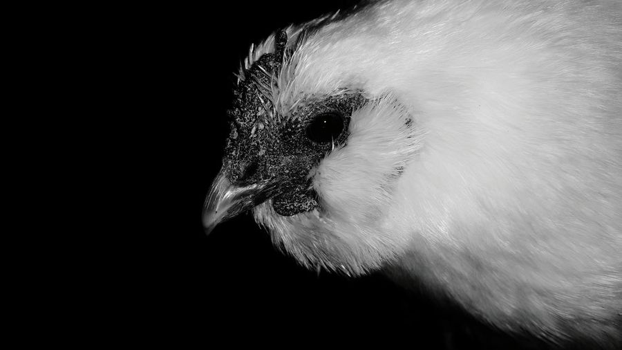 gallina peluche Gallina Peluche Hen Gallina Gallinas Chıcken White Background White And Black Animal Themes Animal