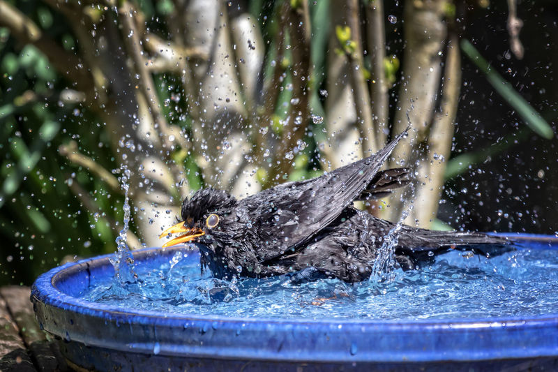 Blackbirds bathing fun