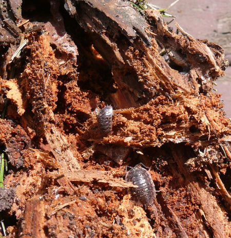 Porcellio Scaber Animal Themes Assel Beauty In Nature Day Kellerasseln Lebensraum Nature No People Outdoors Rock - Object Sunlight Totholz Vermodert Wood - Material