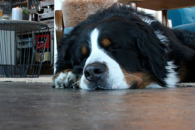 A good boy, Jan 2017 Mountain Dog Bernese Mountain Dog Rest Sleepy Pets Portrait Dog Close-up Snout Animal Nose Animal Face Pampered Pets At Home Adult Animal Canine