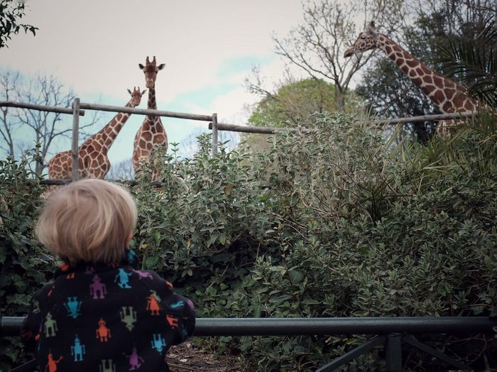 Mini Safari Beauty EyeEm Best Shots Discovery Innocence Wonder Giraffe Zoo Child Childhood Plant One Person Standing Real People Nature Fence Rear View