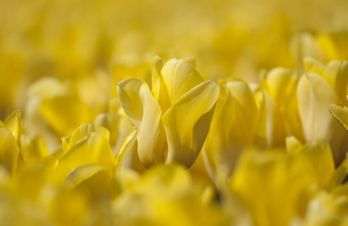 Blooming Tulips at the Keukenhof in The Netherlands Keukenhof Garden The Netherlands Backgrounds Beauty In Nature Close-up Day Dutch Landscape Flower Flower Head Fragility Freshness Growth Holland Keukenhof Nature No People Outdoors Petal Plant Selective Focus Springtime Yellow