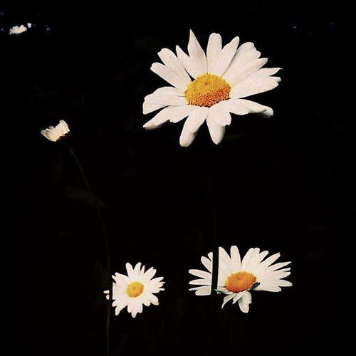 Daisies Shastadaisies Summerflowers Summer Gardentime Gardening Momsgarden Helovesme Helovesmenot Delicate Reachforthesun