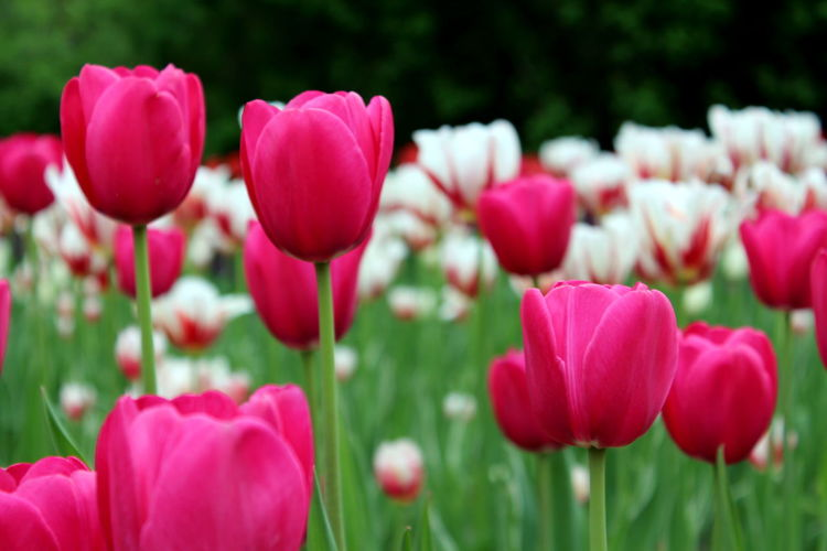 Flower Nature Plant Pink Color Tulip Beauty In Nature Petal Freshness Outdoors Red Multi Colored Close-up Flower Head Day Springtime Flowerbed Macro Botanical Garden Green Background Summer Blossom Growth Green Color Nature