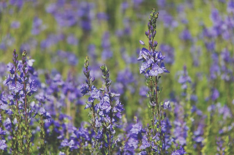 Flowering Plant Flower Plant Purple Beauty In Nature Vulnerability  Fragility Focus On Foreground Nature Lavender Close-up Freshness Field No People Day Inflorescence Flower Head Growth Land Petal