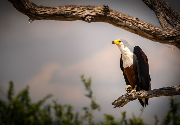 Low Angle View Of Bald Eagle Perching On Branch Against Sky