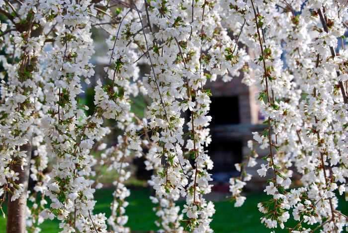 Blooming Japanese Cherry Tree PhotosbyKelli Focus In Foreground Flower Blossom White Color Fragility Nature Freshness Branch Tree Growth No People Day Beauty In Nature Outdoors Springtime Close-up Backgrounds Flower Head