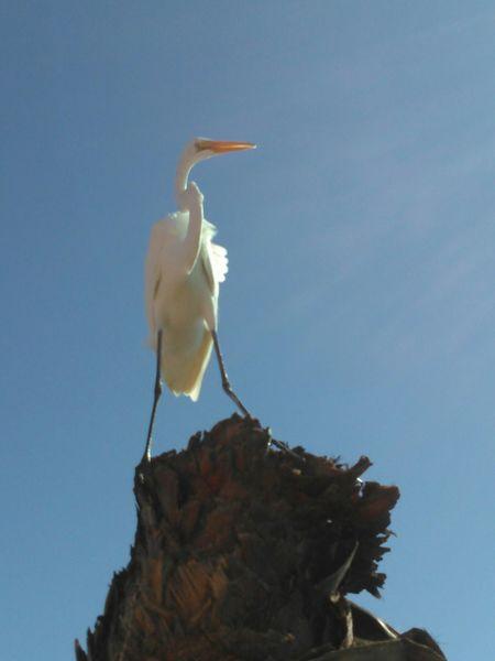 Great Egret Large Size Bird Photography Birds Of EyeEm  Ocean Bird No Filter, No Edit, Just Photography
