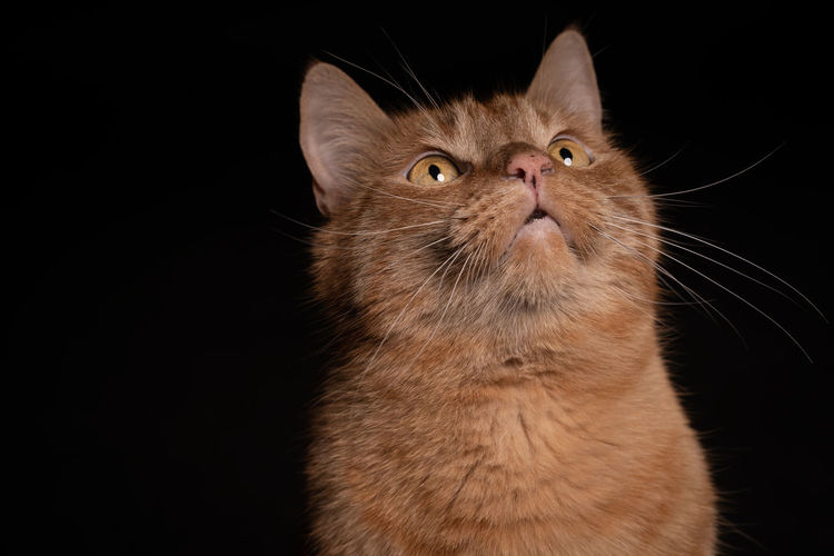 Close-up of a cat looking up over black background