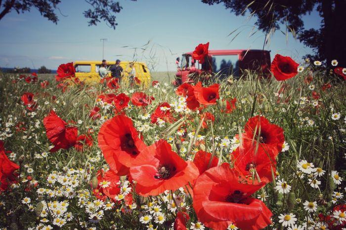 Flower Red Nature Outdoors Camping Baltic Sea Kägsdorf Summer Poppy