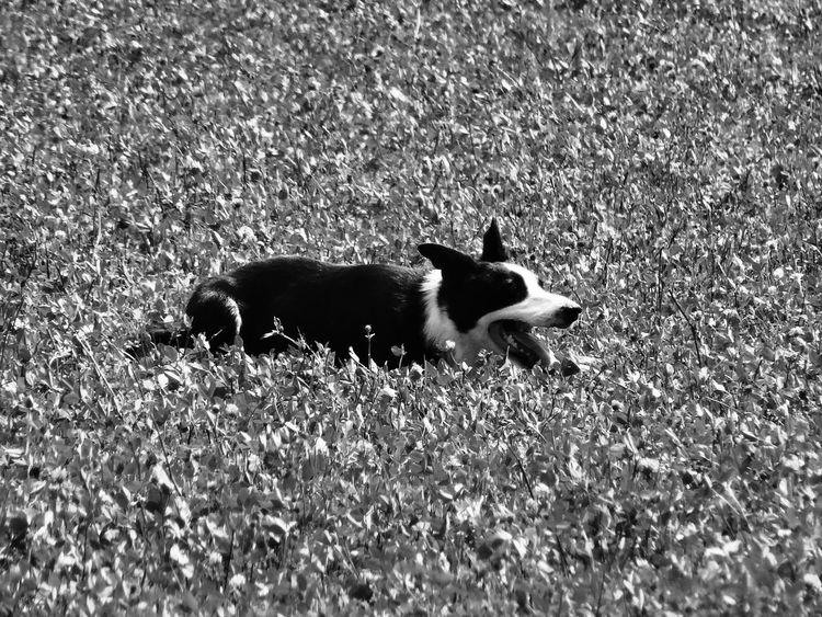 Animal Themes Black Color Field Grass Grassy One Animal Workingdog