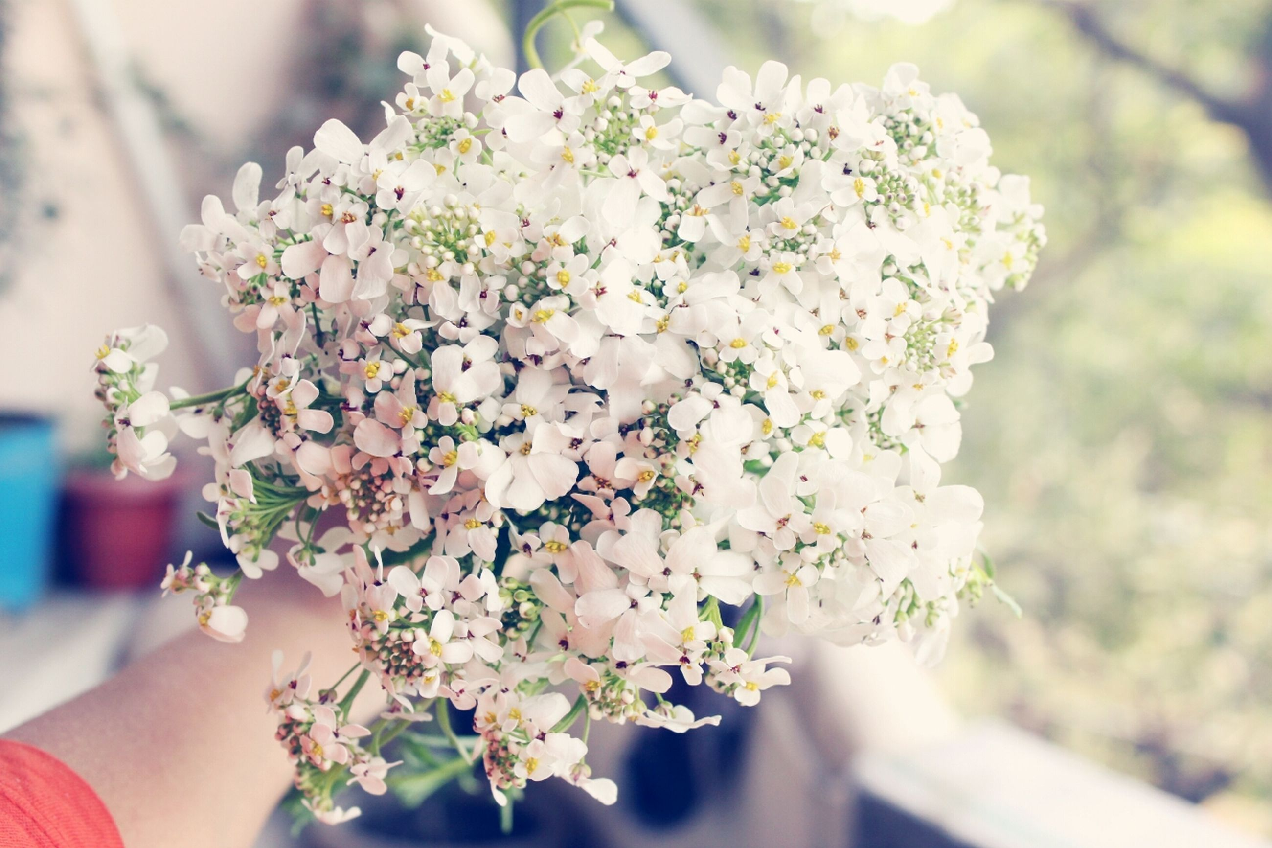 flower, person, freshness, holding, focus on foreground, fragility, petal, part of, white color, cropped, close-up, lifestyles, blossom, unrecognizable person, flower head, beauty in nature, nature
