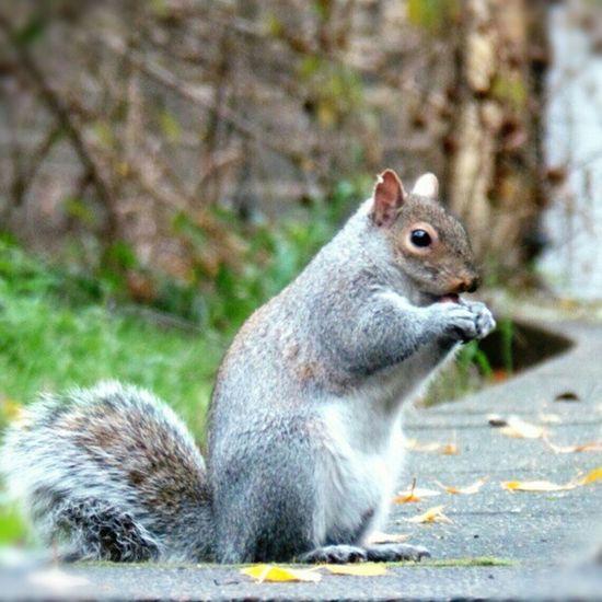 Nuts! Statue Grey Squirrel Fluffy Nofilter Poser Greysquirrel Strikeapose