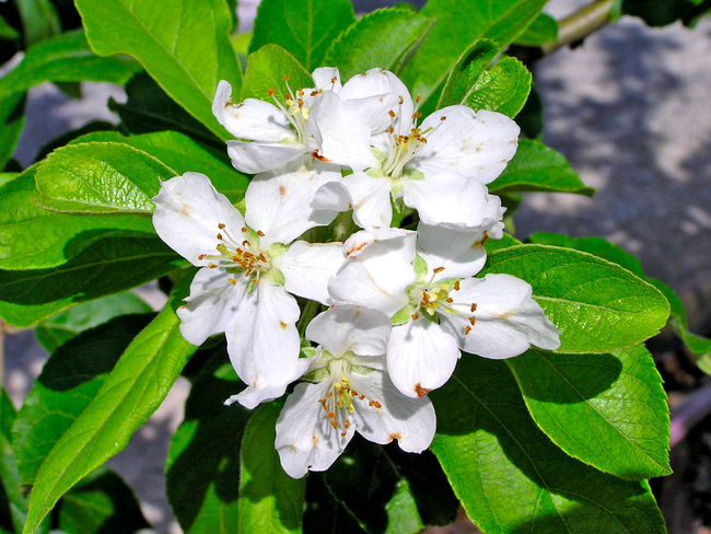 Agriculture Apple Apple Blossom Apple Tree Beauty In Nature Bloom Blooming Blooming Tree Close-up Day Flower Flower Head Fragility Freshness Growth Leaf Malus Malus Domestica Nature No People Outdoors Petal Plant White Color
