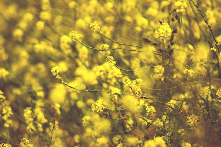 """The earth laughs in flowers.""  ― Ralph Waldo Emerson Summer Neon Pastel Yellow Yellow Flowers Flower Field The Essence Of Summer The Great Outdoors - 2016 EyeEm Awards Natural Light Exceptional Photographs Colorful Outdoors Nature Photography EyeEm Best Shots - Nature Bokeh Bokehlicious Beauty In Nature Original Experiences Pivotal Ideas Color Of Life Color Palette"