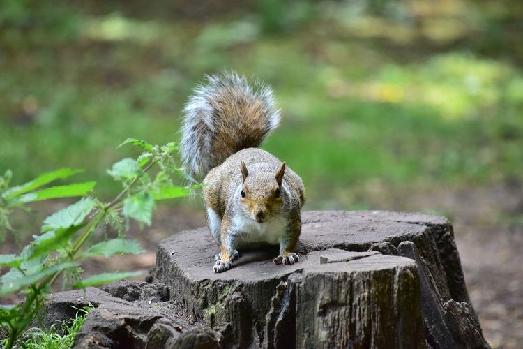 Squirrel on tree stump at park