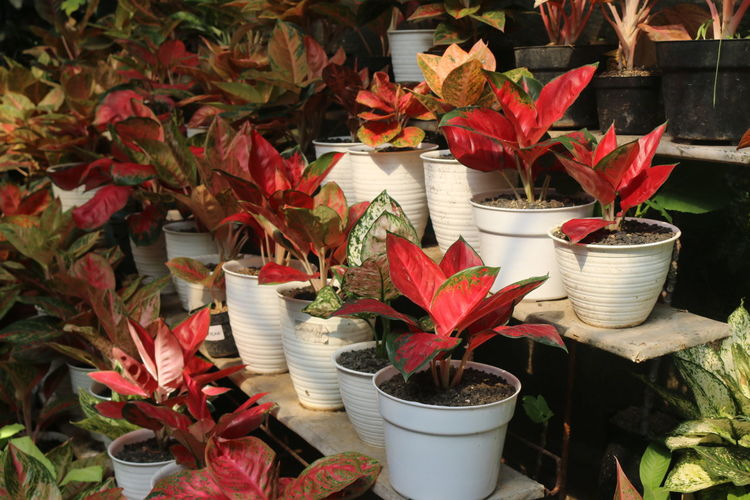 Potted red leafs plants on flower stairs