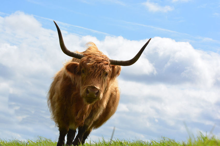 Highland Cattle Beautiful Animal Photography Urban Nature Hanging Out Backgrounds Beautiful Day Nature Photography Clouds And Sky & Cattle Showcase April