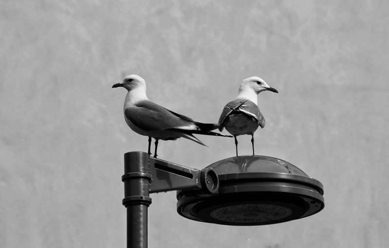 Low angle view of seagulls perching on street light against sky