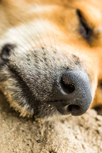 One Animal Animal Animal Themes Mammal Animal Body Part Close-up Vertebrate Animals In The Wild Animal Wildlife No People Animal Head  Pets Domestic Domestic Animals Focus On Foreground Relaxation Day Canine Eyes Closed  Animal Nose Snout Whisker Animal Mouth