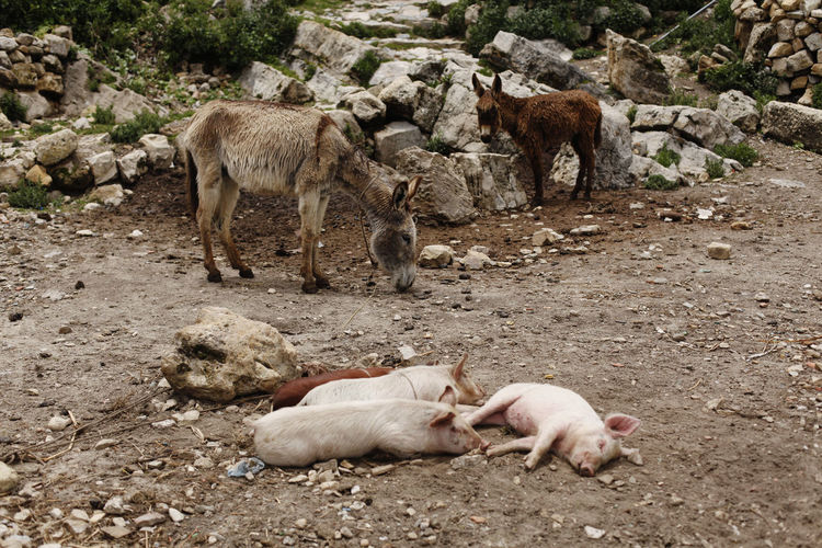 isla del sol, bolivia Bolivia Mud Herbivorous Outdoors Animal Family Medium Group Of Animals Day Animals In The Wild Field Nature Pets Agriculture No People Vertebrate Animal Wildlife Land Domestic Domestic Animals Young Animal Pig Livestock Animal Animal Themes Group Of Animals Mammal