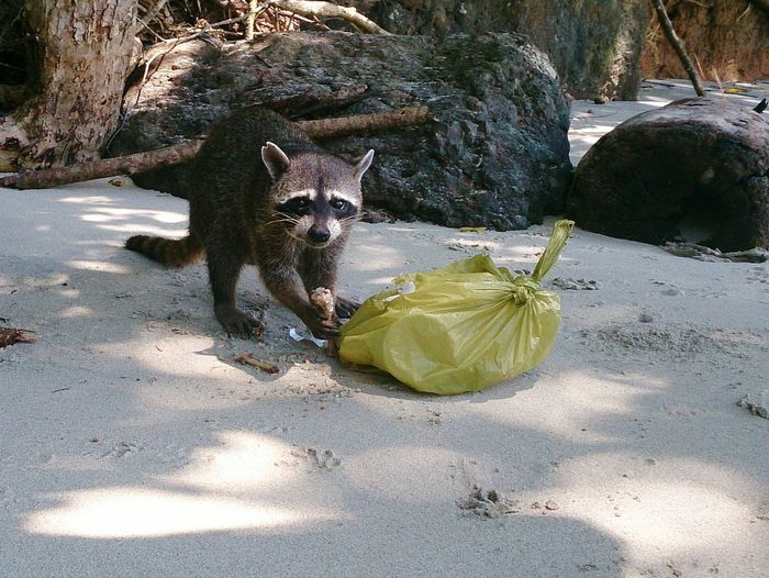 Portrait Of Raccoon By Plastic Bag At Beach