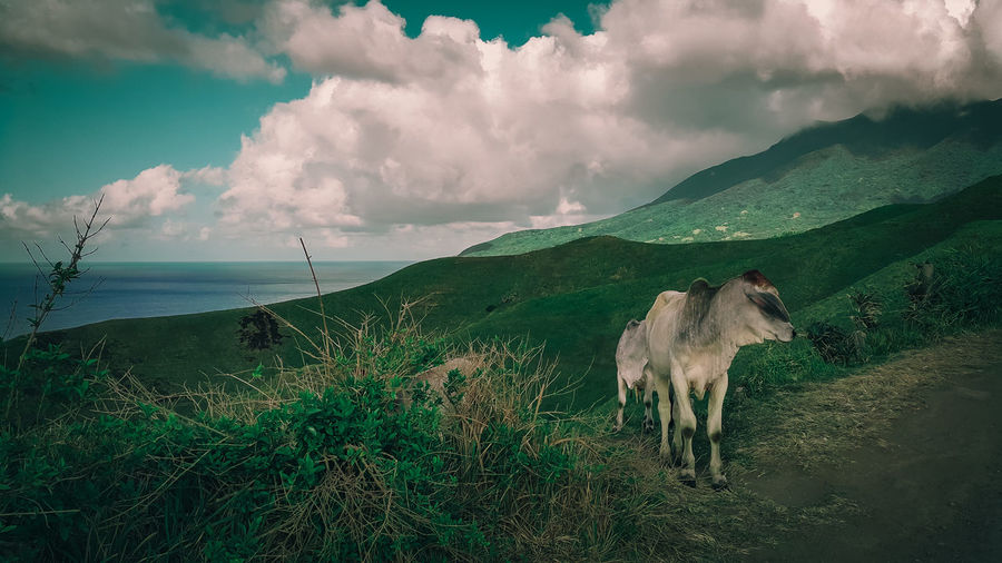 Animal Themes Beauty In Nature Cattle Cloud - Sky Day Domestic Animals EyeEm Nature Lover Eyeem Philippines Grass Grazing Green Color Horse Landscape Livestock Mammal Mountain Nature No People Pasture Scenics Sea Sky Tranquil Scene Tranquility Water