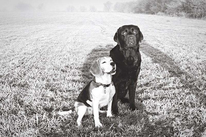 Beagle Beaglelovers Labrador Maasuiterwaarden Netherlands Nederland Taking Photos Dog Dog Love Dogs