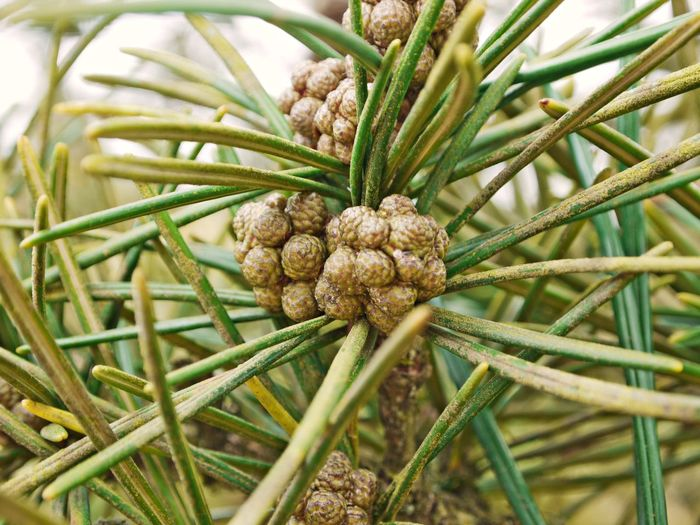 Beauty In Nature Close-up Day Fruit Green Color Growth Nature No People Outdoors Pine Cone Plant Tree