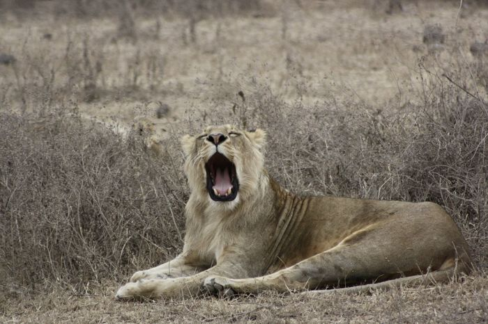 Animal Themes Animal Wildlife Animals In The Wild Day Grass Lion - Feline Lioness Lying Down Mammal Mouth Open Nature No People One Animal Outdoors Relaxation Roaring Tired Wildlife Yawning