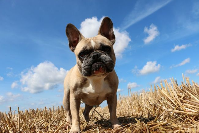 french bulldog is standing in a stubble field on a sunny day Brown Eyes FUNNY ANIMALS Looking At Camera Standing Animal Themes Beautiful Woman Cloud - Sky Corn Field Day Dog Fawn😍 Field French Bulldog Grass Nature No People One Animal Outdoors Pets Portrait Sky Stubble Field Summer