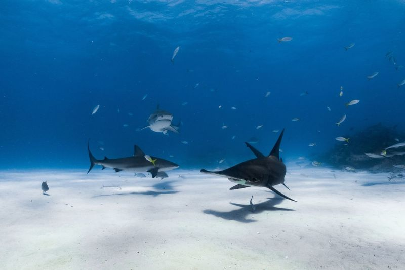 Three species of shark swimming together